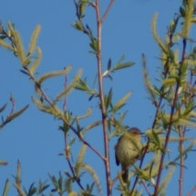 Chiffchaff in the Woodland