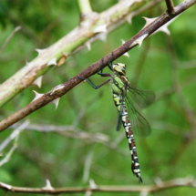 Dragonfly in the Woodland
