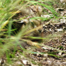 Hare in the Woodland