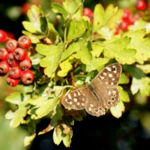 Wood Speckled Butterfly in the Woodland